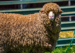 Australia NSW Condobolin Merino Sheep
