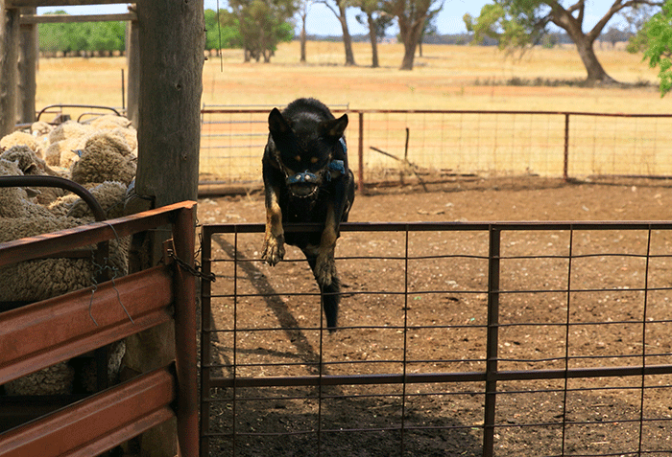 The working dogs of Australia