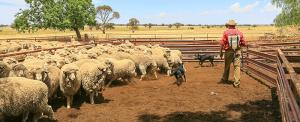 Australia Belswick Merino Stud Condobolin NSW Image Shane A