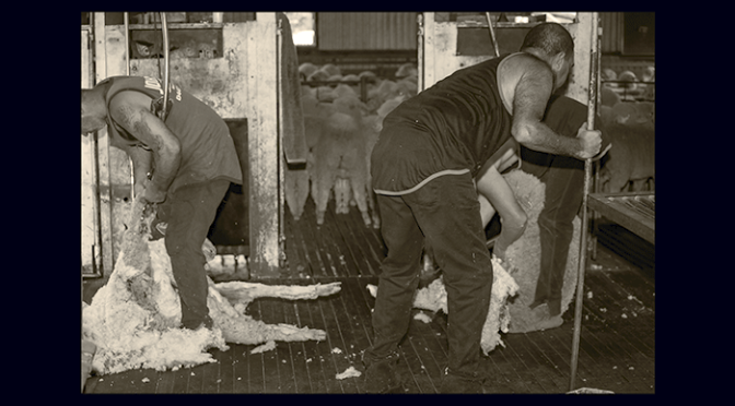 Cockys Drovers Shearers and Hard Yakka
