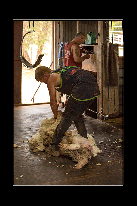 Shearing-the-Jumbuck-in-the-Shed-A