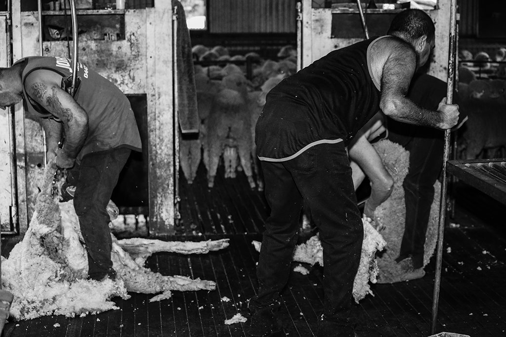Hard Yakka Shearing
